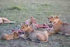 manada de leonas