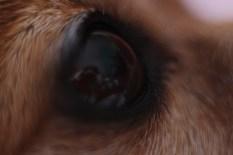 Dog eye - L'oeil du chien