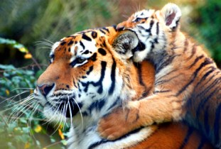 Tigercub3