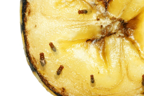 Macro of common fruit flies (Drosophila melanogaster) on piece of rotting banana fruit.