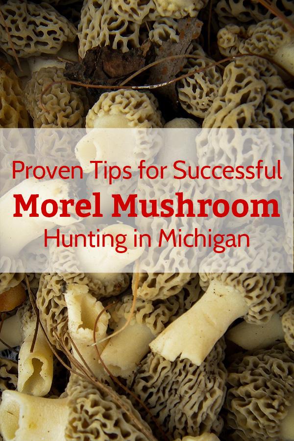Morel Mushroom Hunting in Michigan