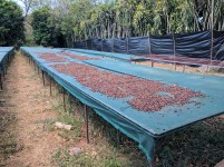 Coffee beans out to dry
