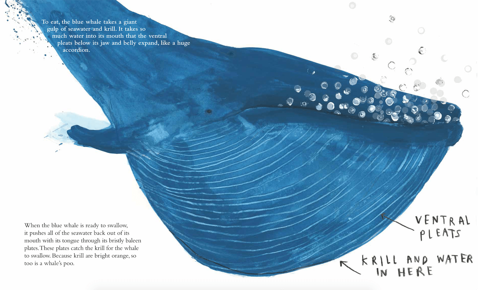 The blue whale by jenni desmond this picture book life