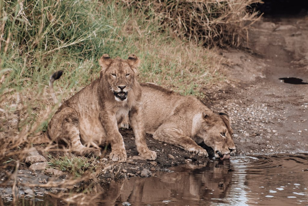 Lions drinking out of a pond in Tanzania.