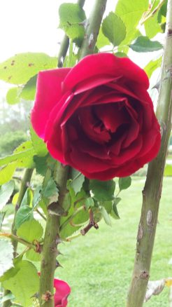 Rose at Parc de la Tête d'Or