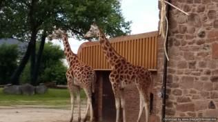 Chester Zoo 2 giraffes