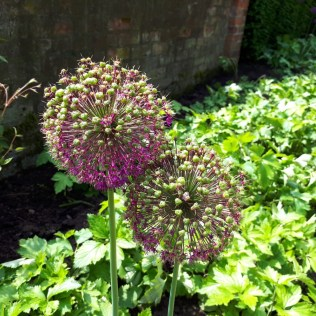 Alliums Wollerton Old Hall