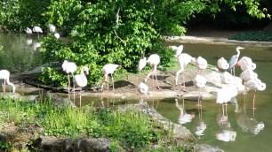Flamingos at Parc de la Tête d'Or (2)