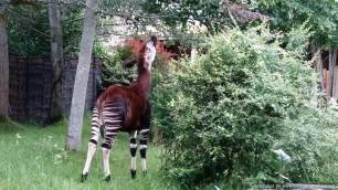 Chester Zoo Okapi