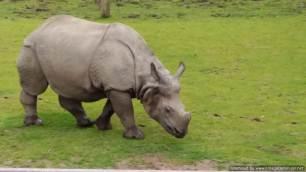 Chester Zoo one horned rhino