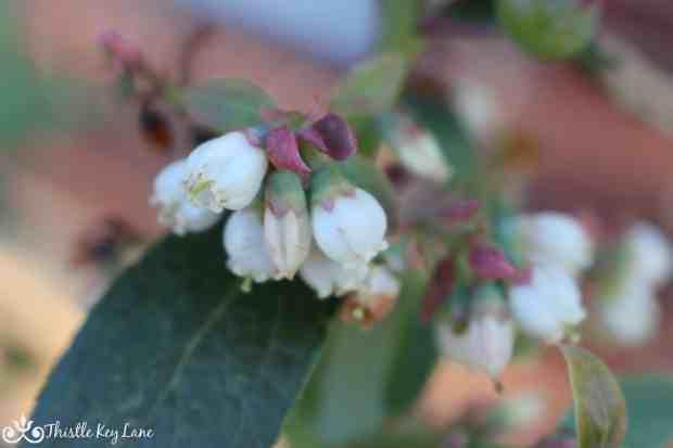 Blooms on the Pink Lemonade Blueberry Bush