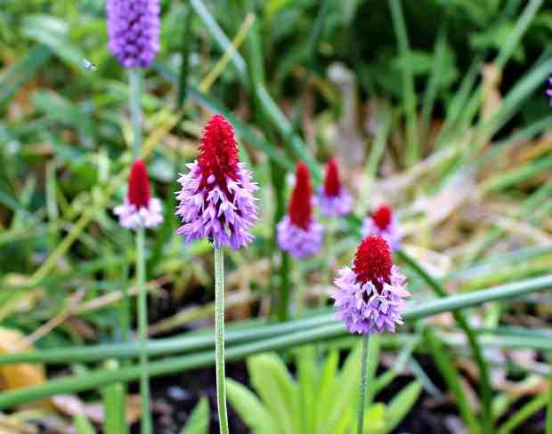 Primula Vailli Dunvegan Castle Gardens