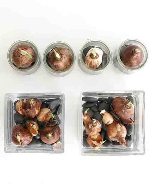 Add bulbs on top of rocks in containers.