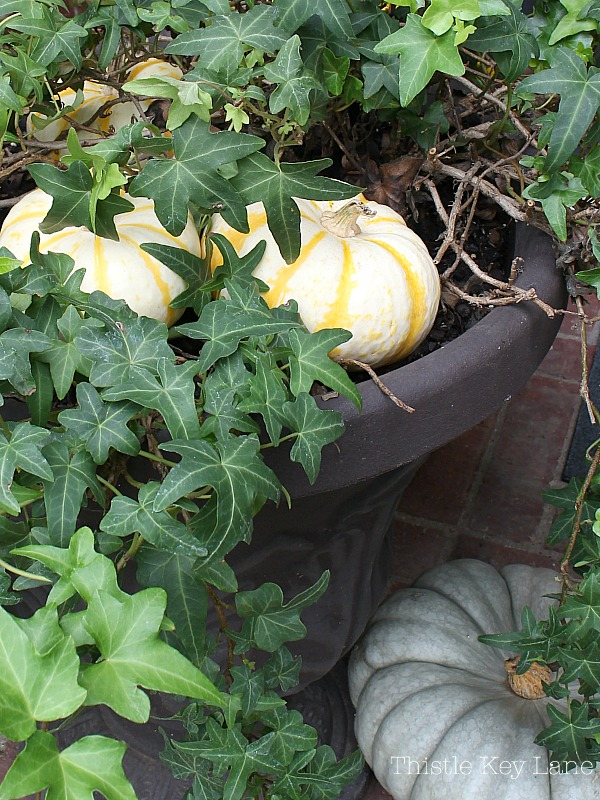 Hiding little pumpkin in ivy.