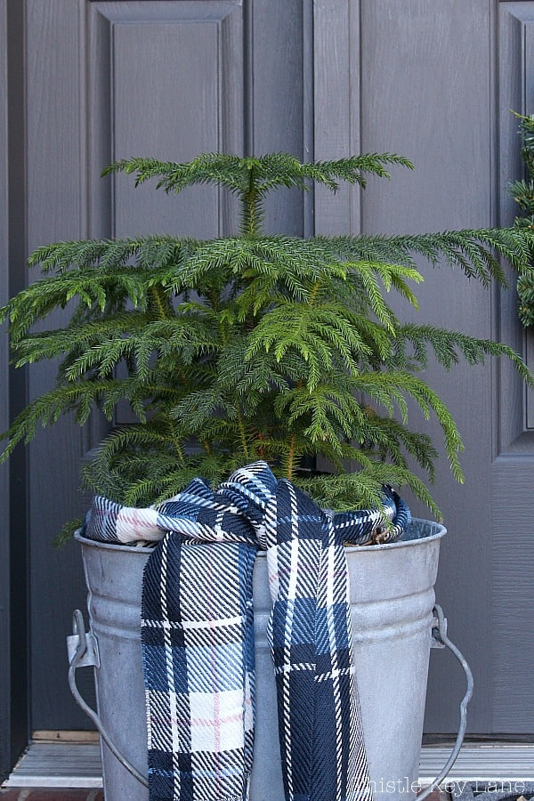 Vintage zinc bucket with Norfolk pine tree and a plaid scarf.