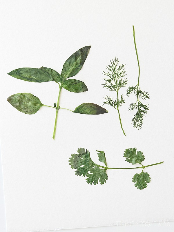 Pressed herbs on white paper.