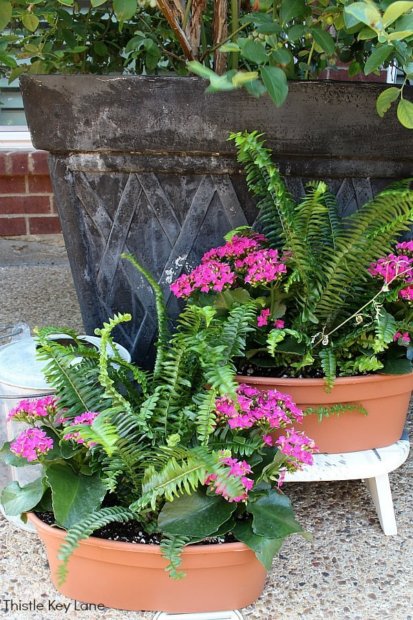 Pink kalanchoes and ferns in containers with a watering can.