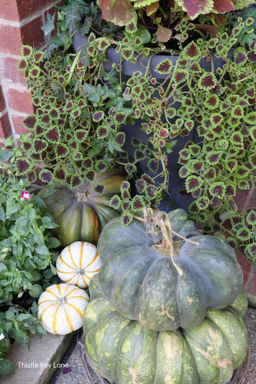 Green and white pumpkins in front of coleus.
