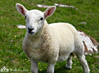 Lamb at the Niest Point Lighthouse