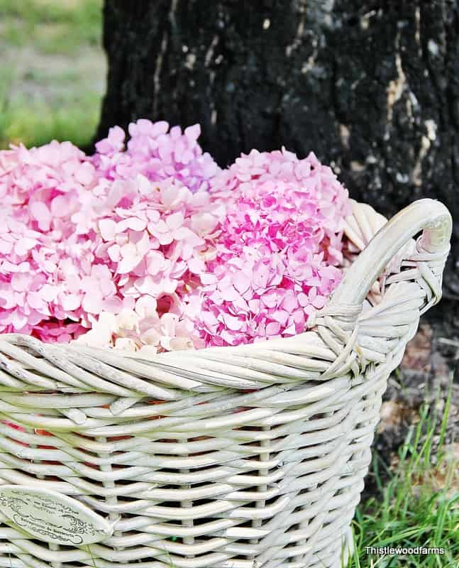 These bright pink hydrangeas are blooming in the sun.