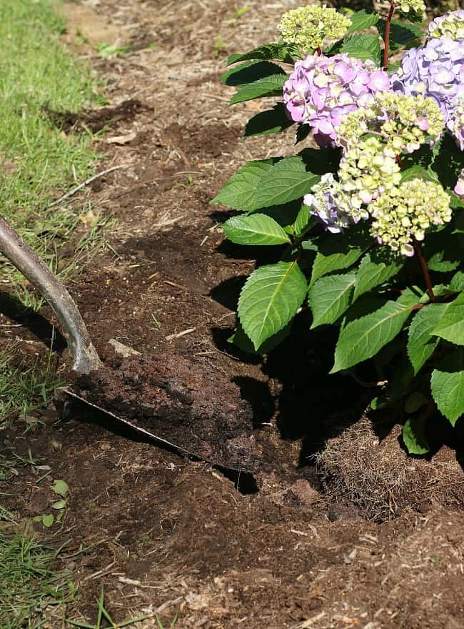 Planting your hydrangea at the right height will impact its growth.