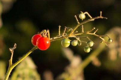 doug_kaye_tomato