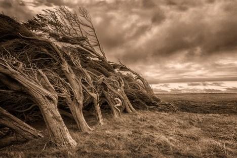 monterey-cypress-wind-treegirl-tkaweb12by8