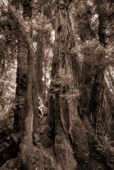 redwood-castle-ii-treegirl-tkaweb