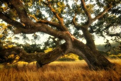 sundrenched-stafford-oak-ii-treegirl-tkaweb