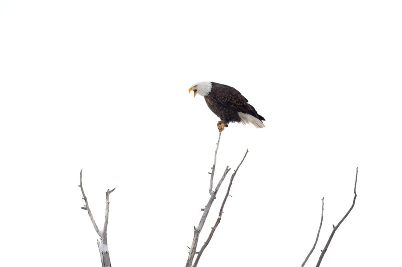 The majestic bald eagle is once again thriving in the nation it symbolizes.