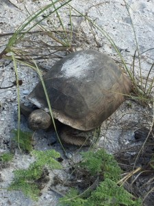 Gopher tortoise on Christmas Day