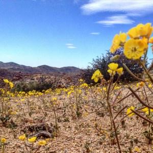 Joshua Tree NP in bloom