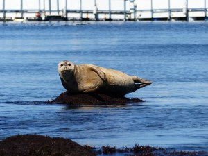 Seals basking in the bay outside the crab shack