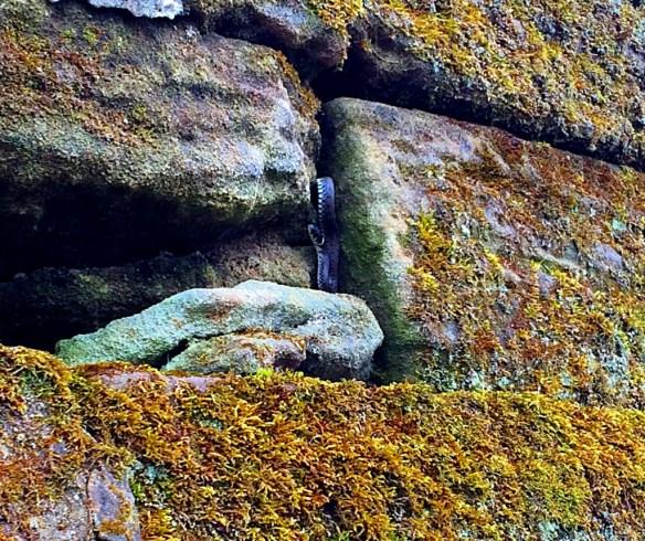 Bamberger Mauer als Lebensraum für Ringelnattern