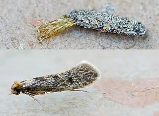 Tinea pellionello or Case Bearing Clothes Moth - ©entomart