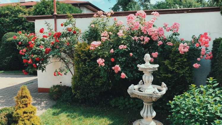 A Polish garden with two large rose bushes busting with flowers and colour. They are reaching high and cascading down the greenery around them. I fountain neatly sits on the small patch of grass