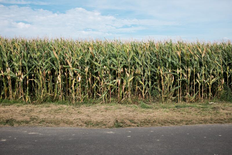 Projet 52 - Champ de maïs