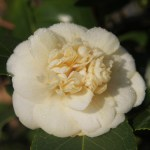 camellia japonica nobilissima 2 February's ramblings…