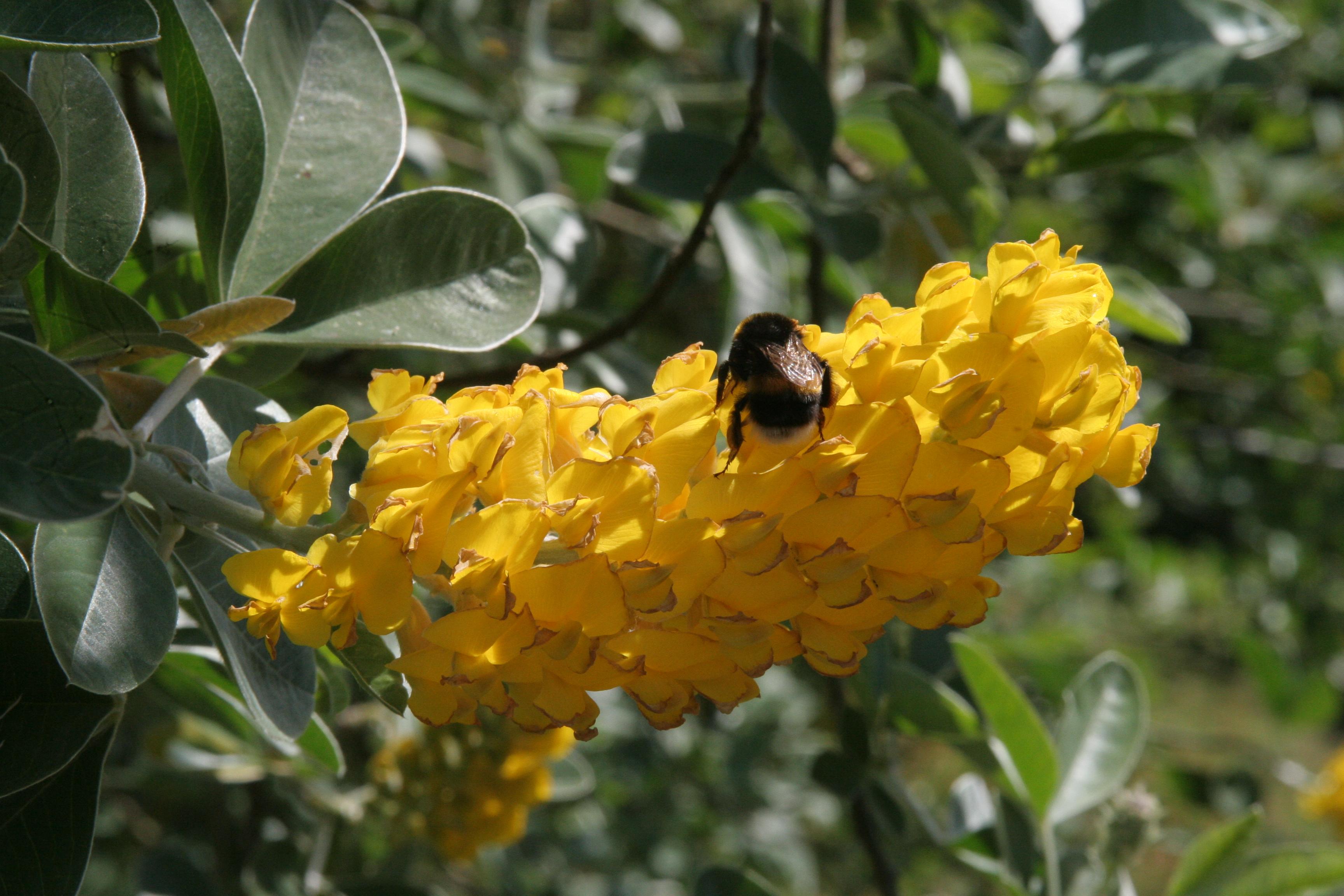 cytisus battandieri1 About
