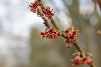 hamaelis vernalis dora county in arkansaw Hamamelis, the winter Witches of Sir Harold Hillier Gardens