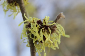 hamamelis x intermedia moonlight (3).JPG