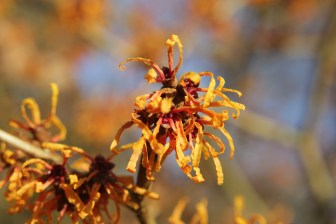 hamamelis x intermedia orange peel.JPG