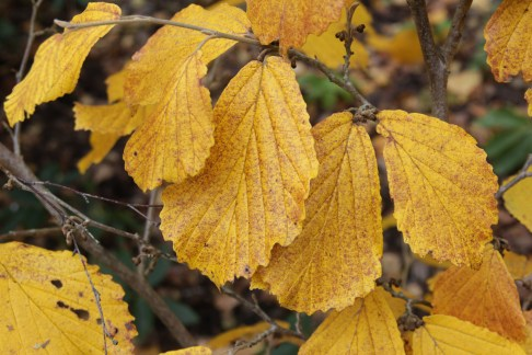hamamelis x intermedia rubin 4 Hamamelis, the winter Witches of Sir Harold Hillier Gardens