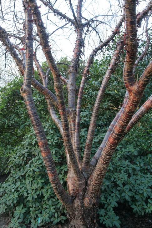 himalaica Plant of the week Prunus himalaica