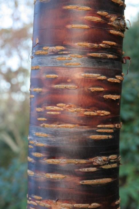 himalaica1 Plant of the week Prunus himalaica