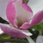 magnolia x soulangeana lennei4 February's ramblings…