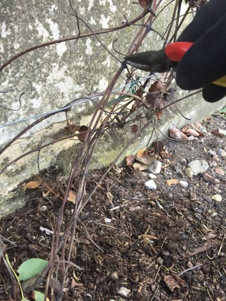 img 1840 Job of the week  pruning clematis