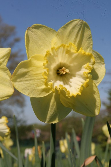 narcissus cornish gold Madder than a March hare