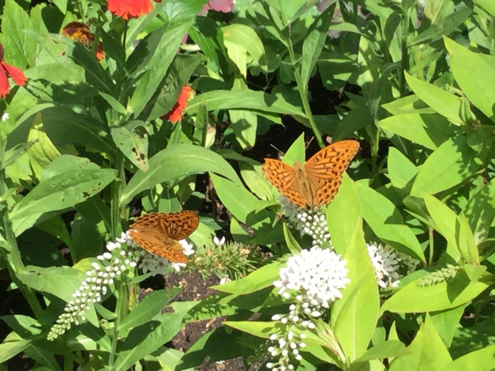 20150727 104604210 ios Planting herbaceous plants for Butterflies and Bees