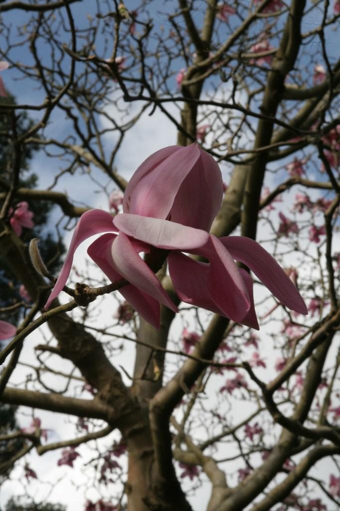 cambellii Plant of the week Magnolia campbellii